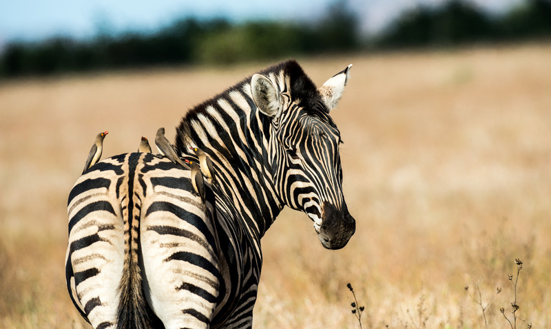 Red-Billed Oxpeckers and Zebra