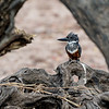 Giant King Fisher