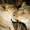 Affectionate lionesses