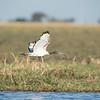 African Sacred Ibis in flight