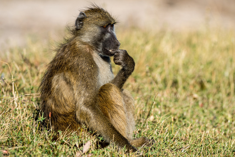 The Thinker- baboon