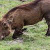 Praying Warthog