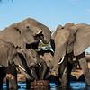Elephants trunk congregation at waterhole