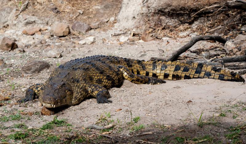 Large Crocidile