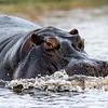Hippopotamus on the move