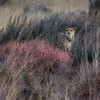 Cheetah in bush