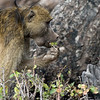 Baboon snacking
