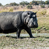 Posing hippopotamus