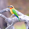 Swallow-Tailed Bee Eater 2