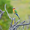 Swallow-Tailed Bee Eater 1