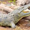 Crocodile Aggression 1
