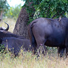 Buffalo Cow And Herd