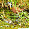 African Jacana With Chick 3