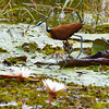 African Jacana With Chick 1