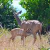 Mother And Child Kudu 2