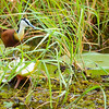 African Jacana With Chick 2