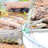 Crocodile Aggression 2
