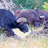 Buffalo Bull And Herd
