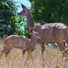 Mother And Child Kudu 1