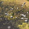 Okavango Elephant Herd From Air 1