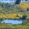Buffalo Herd From Air
