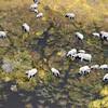 Okavango Elephant Herd From Air 2
