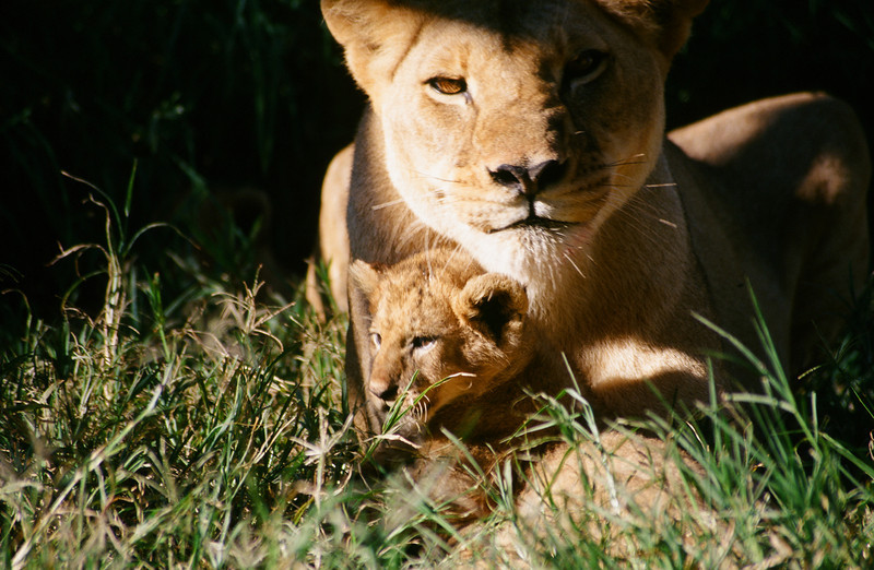 Mother and Child: A lioness guards her cub.  Location - Zimbabwe, Southern Africa.