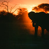 Elephant Silhouette: Africa's sunset frames an elephant coming down to drink at Nyamandlovu Pan, Hwange National Park, Zimbabwe, Africa.