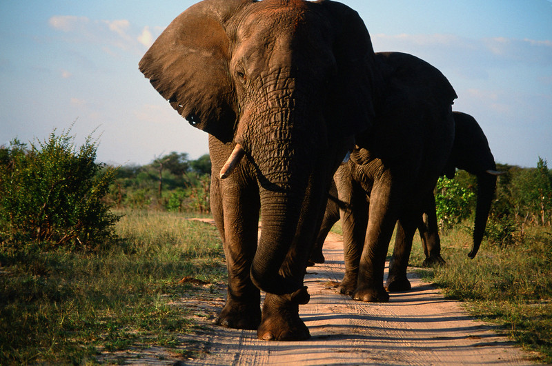 Yield to Heavy Traffic:  My wife Beth took this photo out of the car window as we backed up steadily before these elephants intent of reaching water at Guvalala Pan. Location: Hwange National Park, Zimbabwe, Africa.