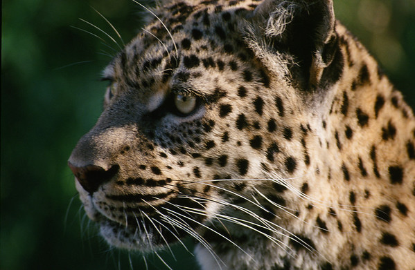 Best of Leopards