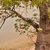 Boabab in flower at Morro da Cruz, just south of Luanda, Angola.