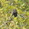 Angolan Pluto Monkey