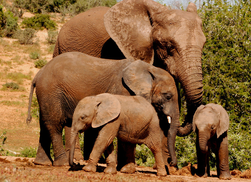 Tiered Family: A family of four elephants, with twins and an adolescent pose in a stacked formation. Location - Addo Elephant National Park, South Africa.