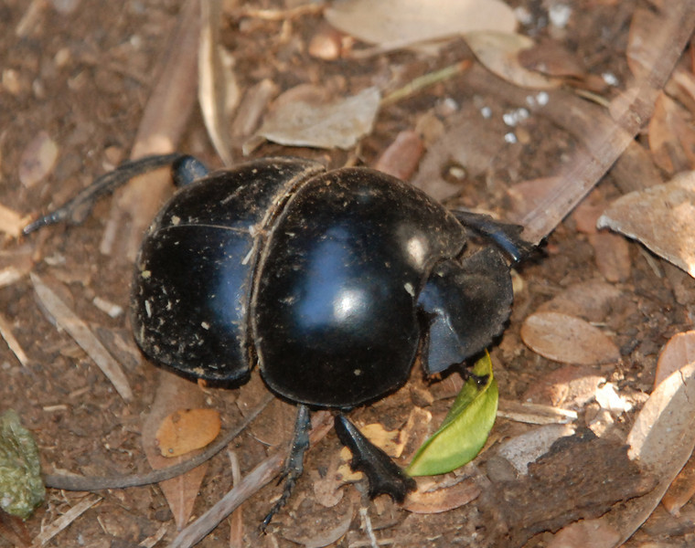 Dung Beetle: This is likely the flightless variety that is nearly exclusive to this region.