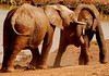Struggle of the Young Titans (1):  Adolescent Addo elephants test their strength at a water hole.
