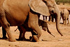 Like Mother Like Baby: No, that's not a shadow beside the mother elephant; its her baby!