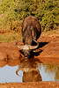 Buffalo Reflection: an old bull slakes his thirst at a water hole in the Addo Elephant National Park, South Africa.