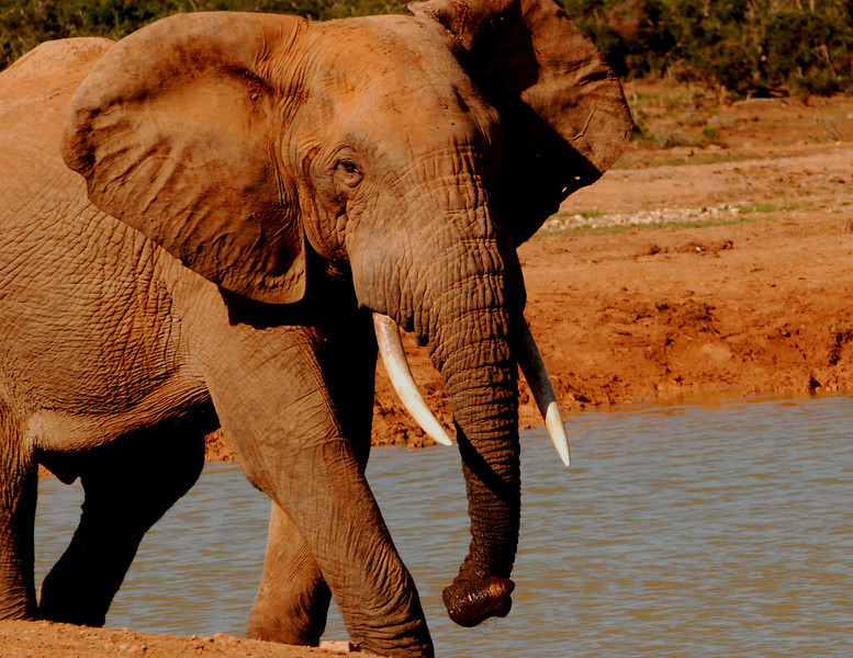 Noble Head: A bull elephant throws his ears wide as he swings away from a water hole at the Addo Elephant National Park, South Africa.
