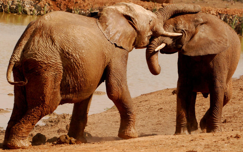 Struggle of the Young Titans (2):  Adolescent Addo elephants test their strength at a water hole.  Notice the impact of a tusk on the other's face.