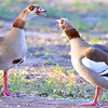 At the home of our Cape Town hosts, wild Egyptian geese (Alopochen aegyptiacus) claim victory after a battle with another pair for territorial rights (4).