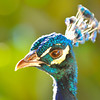 A colorful peacock makes himself at home with our hosts, just like us.