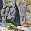 Rock Hyrax (Procavia capensis; locally called Dassie) on a ledge at the summit of Table Mountain, Cape Town, South Africa (1).