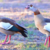 At the home of our Cape Town hosts, wild Egyptian geese (Alopochen aegyptiacus) claim victory after a battle with another pair for territorial rights (3).