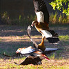 At the home of our hosts, wild Egyptian geese (Alopochen aegyptiacus) battle for territorial rights.