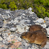 A young Rock Hyrax (Procavia capensis; locally called Dassie) watches while its parent sleeps on a ledge at the summit of Table Mountain, Cape Town, South Africa.