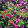 Bougainvillea Beauties 3
