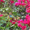 Bougainvillea Beauties 4