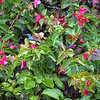 Bougainvillea Beauties 1