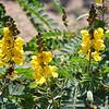 Yellow Native 1