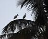 Ibis on Palm 1